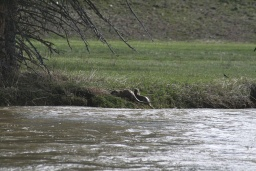 "<div><font size=""1"">Kousek od grizzlyho se v řece máchaly vydry.</font></div>