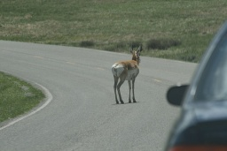 "<div><font size=""1"">Vidloroh váhal uprostřed silnice.</font></div>