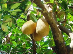 """<p class=""""MsoNormal"""" style=""""MARGIN: 0in 0in 0pt""""><font size=""""1"""">Chlebovník a jeho plody.<br />____________<br />Jack fruit.<o:p></o:p></font></p>"""