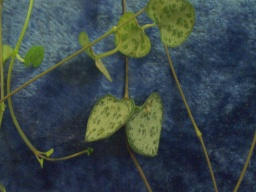 Ceropegia woodyi