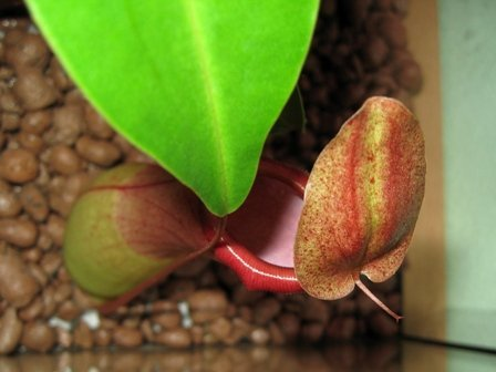 Nepenthes × ventrata 'A'