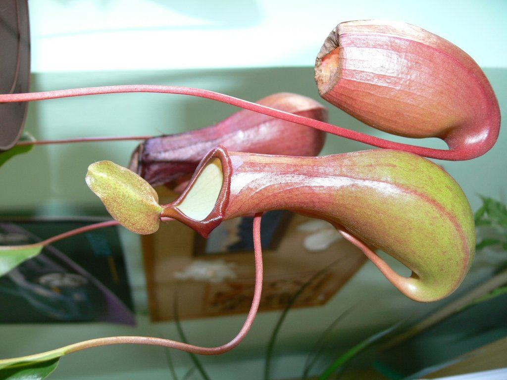 Nepenthes × ventrata 'B'