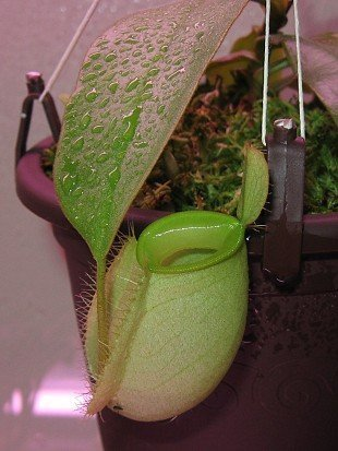 Nepenthes ampullaria (green)