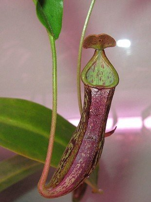 Nepenthes sp.