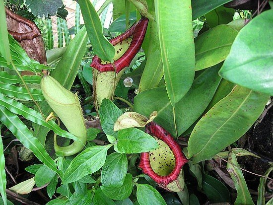 Nepenthes 'Mixta'