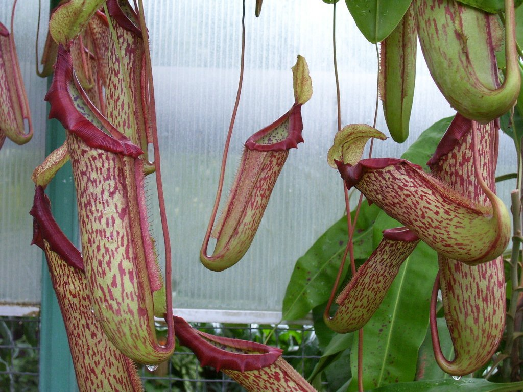 Nepenthes × mixta