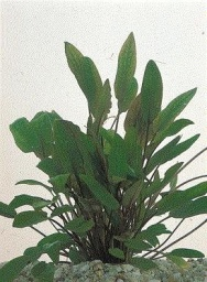 Cryptocoryne Willissii