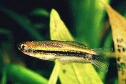 Coelurichthys microlepis