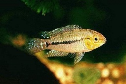 Apistogrammoides pucallpaensis