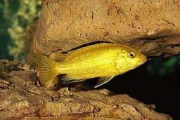"Labidochromis spec. ""Yellow""(Labidochromis golden)"