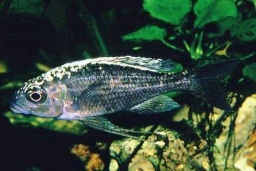 Ophthalmotilapia spec. cf. boops(White Head Ventralis)